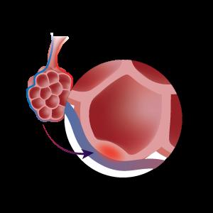 Close u photo of an alveoli