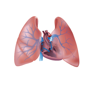 Illustration of a heart and lungs